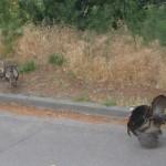 urban turkey trot